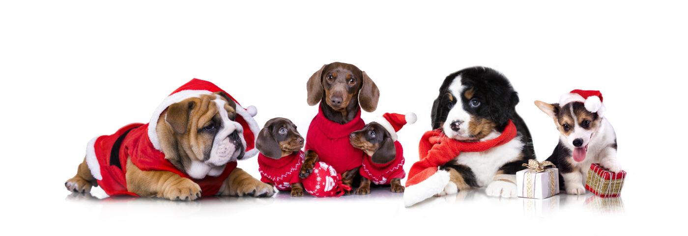 Weihnachtsrudel aus Hunden in Mützen